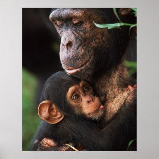 Mère de chimpanzé entretenant le bébé affiche