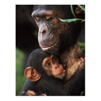 Mère de chimpanzé entretenant le bébé carte postale