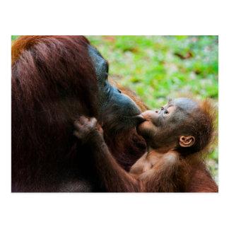 Mère et bébé d'orang-outan carte postale