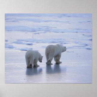 Mère et CUB d'ours blanc Poster