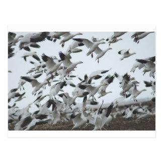 Migration d'oies de neige cartes postales