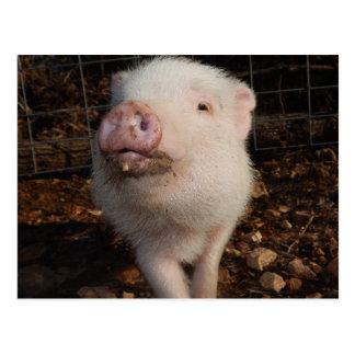 Mini porc de museau sale adorable, carte postale