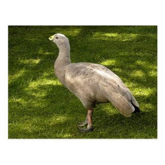 Miscellaneous - Cape Barren Goose  Shadows & Light Carte Postale