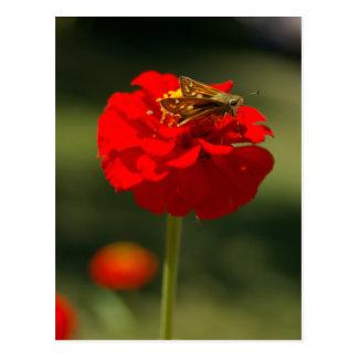 Mite et carte postale rouge de Zinnia