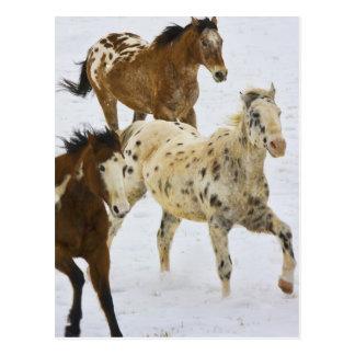 Montagnes de Big Horn, chevaux fonctionnant dans Carte Postale