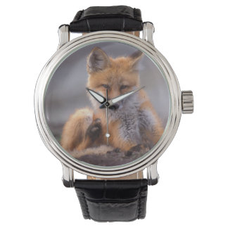 Montre renard rouge, vulpes de Vulpes, chiot se rayant,