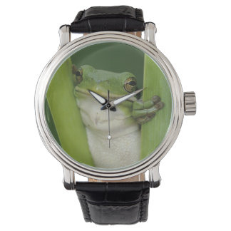 Montre Treefrog vert, Hyla cinerea, adulte, lac