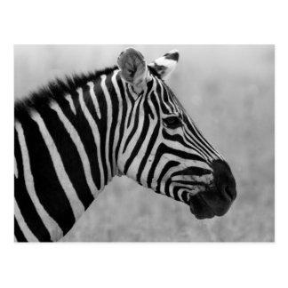Motif noir et blanc frais de zèbre carte postale
