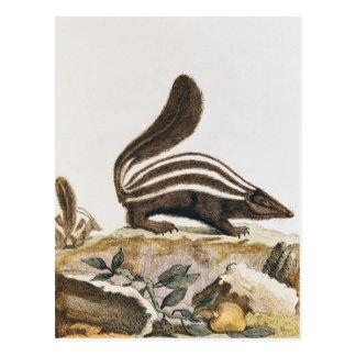 """Mouffette, de """"Histoire Naturelle"""" par Carte Postale"""
