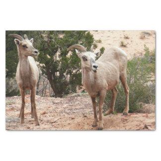Mouflons d'Amérique drôles au parc national de Papier Mousseline