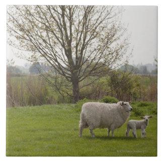 Moutons avec l'agneau dans le domaine grand carreau carré