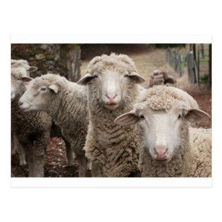 Moutons curieux carte postale