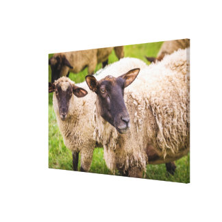 Moutons de la Normandie | France Toile