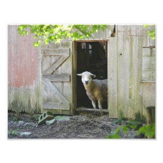 Moutons de pays impression photo