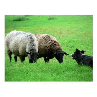 Moutons et chien de moutons carte postale