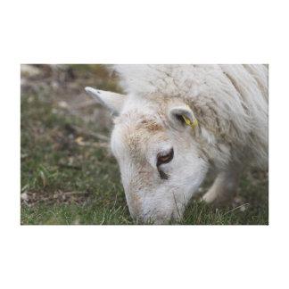 Moutons mangeant l'herbe dans la toile de champ toile tendue sur châssis