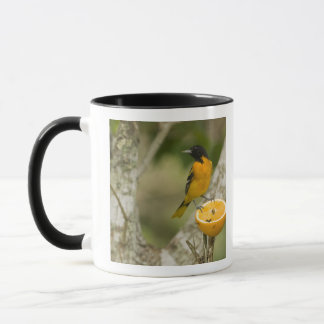 Mug Baltimore Oriole alimentant sur l'orange, Icterus