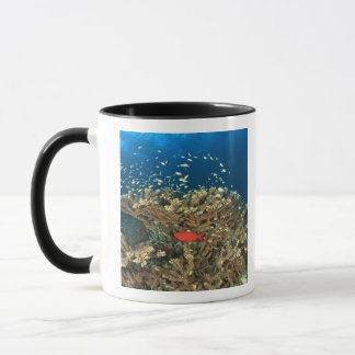 Mug Bigeye se cachant sous le corail dur, île de