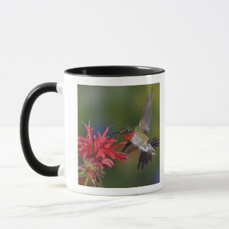 Mug Colibri Rubis-throated masculin alimentant dessus