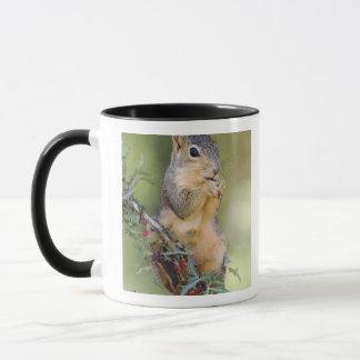 Mug Écureuil de Fox oriental, Sciurus Niger, adulte
