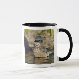 Mug Frotter-Geai occidental, californica d'Aphelocoma,
