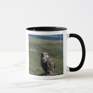 Mug gyrfalcon, rusticolus de Falco, obtention juvénile