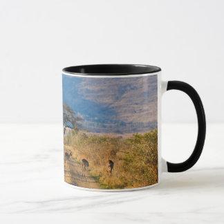 Mug Impala (Aepyceros Melampus), Hluhluwe-Umfolozi