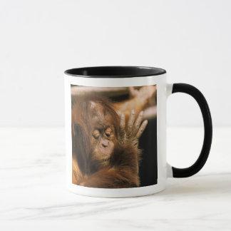 Mug Le Bornéo. Orang-outan captif, ou pongo pygmaeus.