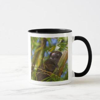 Mug Lémur en bambou dans la forêt en bambou,