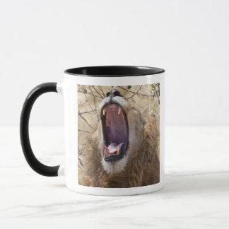 Mug Lion masculin (Panthera Lion) baîllant, masai Mara