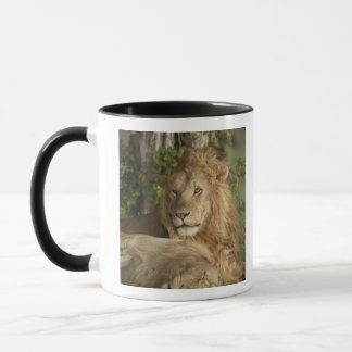 Mug Lion, Panthera Lion, repos de mâles