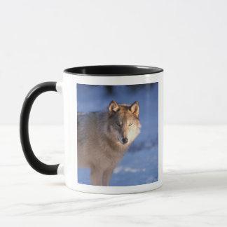 Mug loup gris, lupus de Canis, dans les collines de