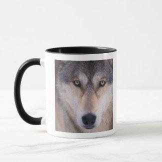 Mug loup gris, lupus de Canis, fin des yeux dedans