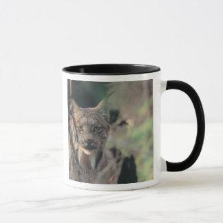 Mug Lynx, canadensis de Lynx, parc national de Denali,