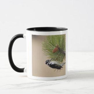 Mug Pivert velu, villosus de Picoides, femelle
