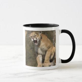 Mug Puma ou puma, concolor de puma, captif -