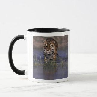 Mug Tigre de l'ASIE, Inde marchant par l'eau