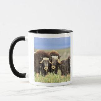 Mug Un groupe de muskoxen passent en revue sur des