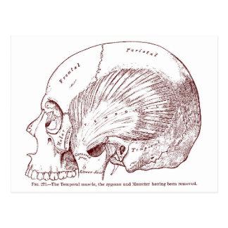 Muscle temporel de vieux dessin médical cartes postales