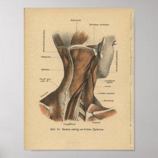 Muscles de cou d'impression d'anatomie d'Allemand Posters
