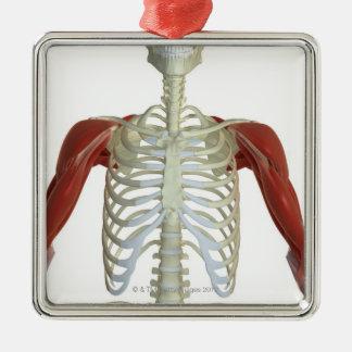 Muscles de l'épaule 2 ornement carré argenté