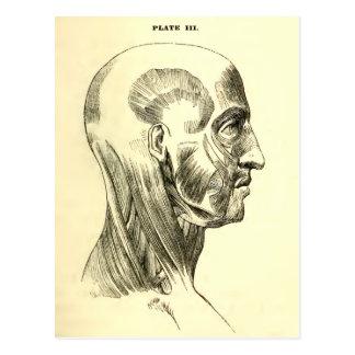 Muscles vintages de l'anatomie   du principal cartes postales