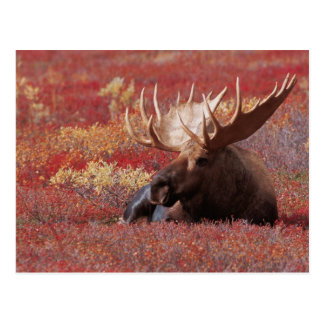 N.A., Etats-Unis, Alaska, parc national de Denali, Carte Postale