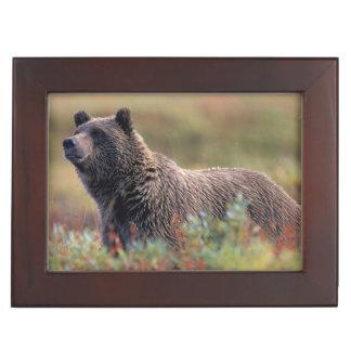 Na, Etats-Unis, Alaska, Denali NP, ours gris Boîte À Souvenirs