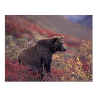 Na, Etats-Unis, Alaska, Denali NP. Un ours gris Cartes Postales