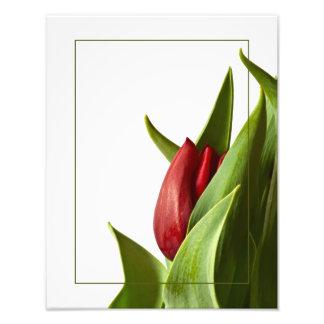 Naissance d'une tulipe de rouge de ressort photographie d'art