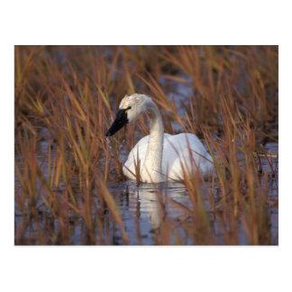 Natation de cygne siffleur dans un étang, 1002 cartes postales