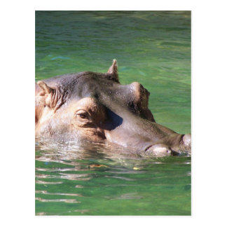 Natation d'hippopotame sur la surface cartes postales