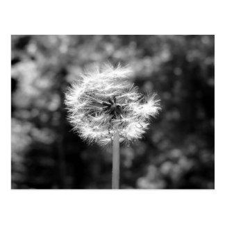 Neige de pissenlit en noir et blanc carte postale