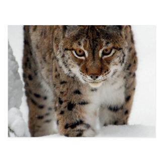 Neige Lynx Cartes Postales